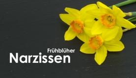 Narzissen: Alles über die Schönheit des Frühjahrs